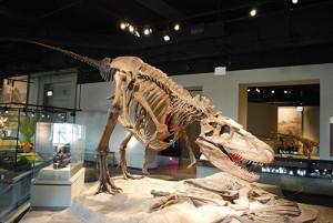 Le Daspletosaurus est une star incontestée des musées paléontologiques.